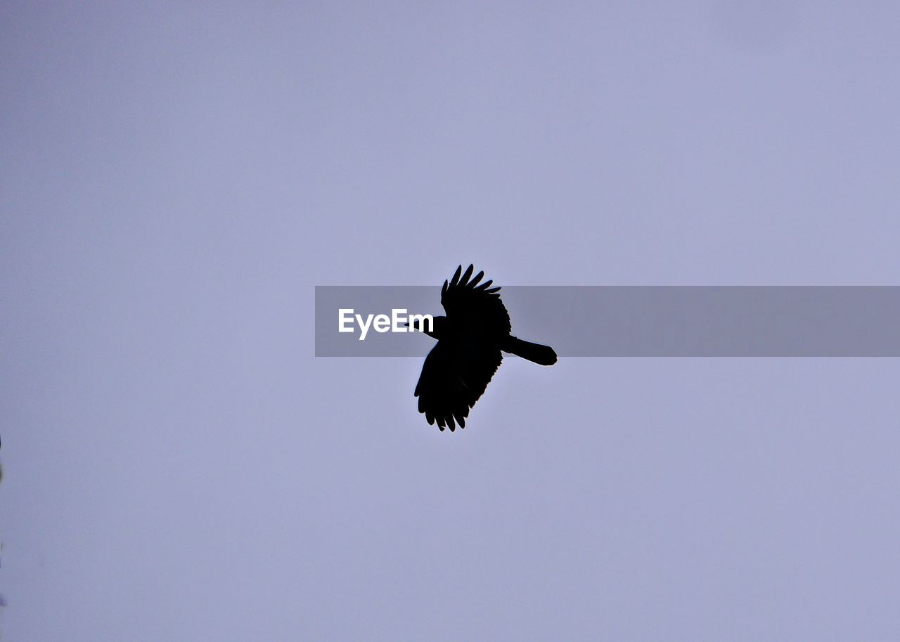 bird, flying, vertebrate, animals in the wild, animal wildlife, one animal, animal themes, spread wings, animal, sky, low angle view, clear sky, copy space, mid-air, no people, motion, outdoors, nature, beauty in nature, day, eagle