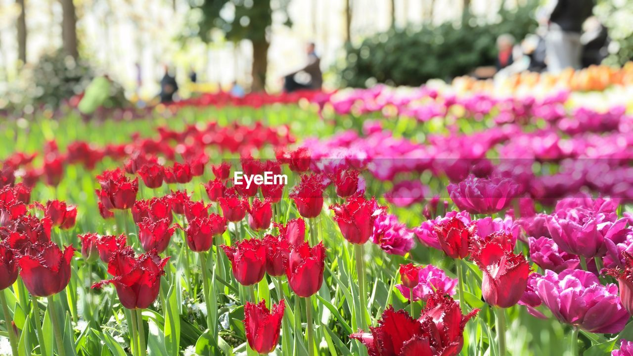 Tulips blooming in park