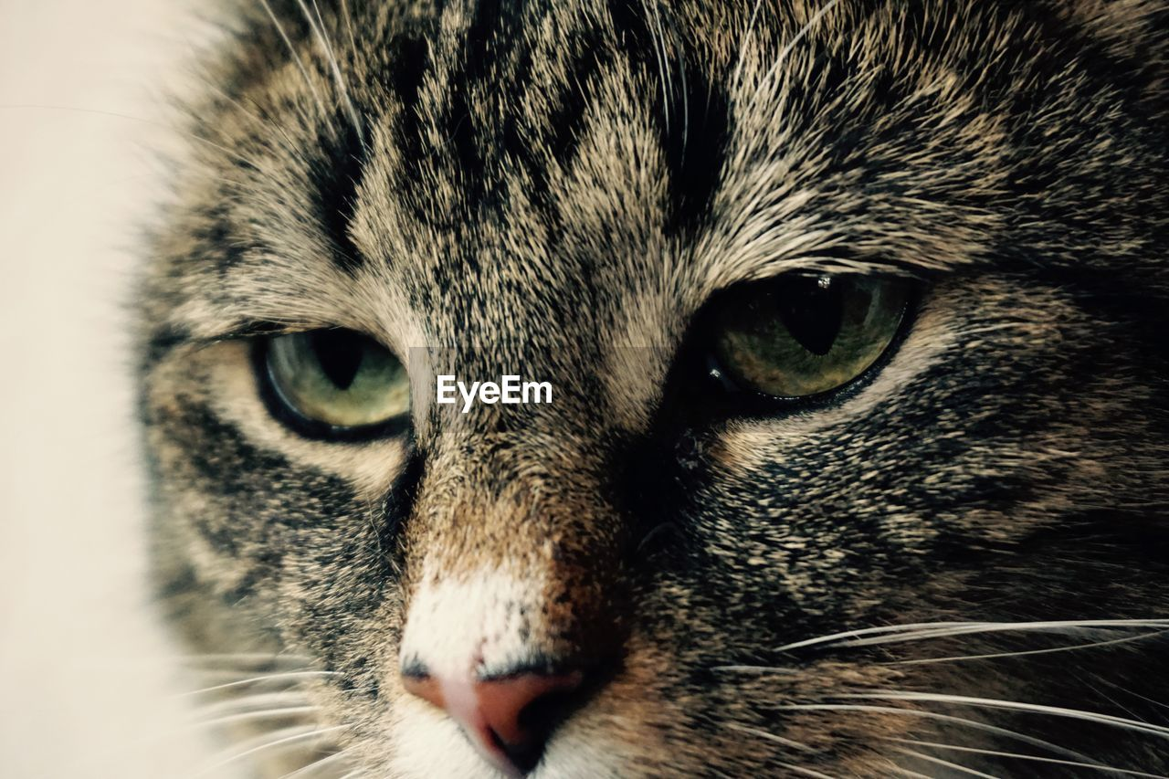 one animal, mammal, animal, animal themes, cat, close-up, pets, domestic animals, feline, vertebrate, domestic, domestic cat, animal body part, animal head, whisker, portrait, no people, indoors, looking at camera, animal eye, tabby