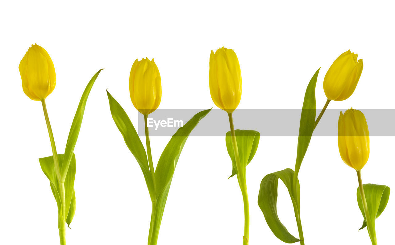 flower, white background, leaf, nature, petal, plant, freshness, yellow, fragility, growth, green color, beauty in nature, close-up, studio shot, no people, flower head, outdoors, day