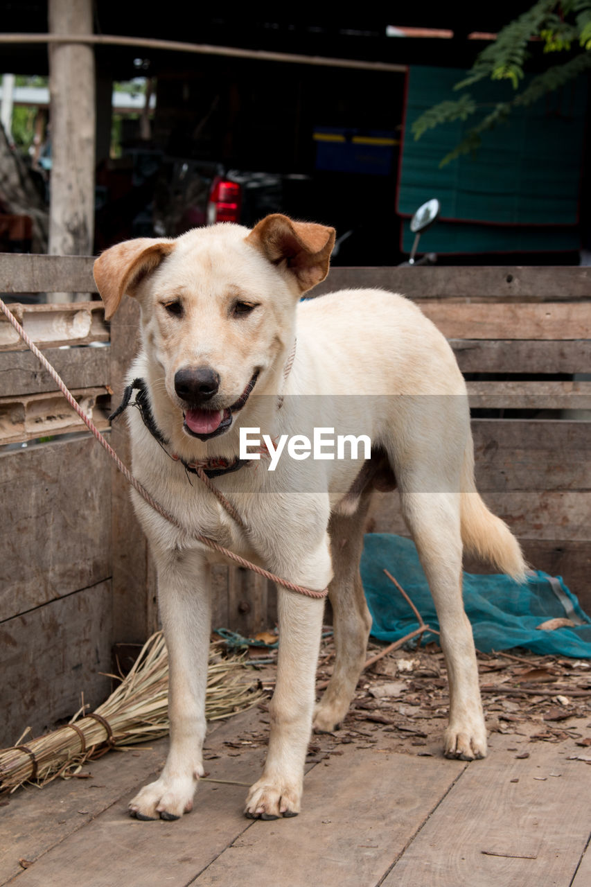 mammal, pets, domestic animals, dog, canine, domestic, one animal, vertebrate, portrait, standing, looking at camera, full length, day, no people, focus on foreground, outdoors, footpath, mouth open