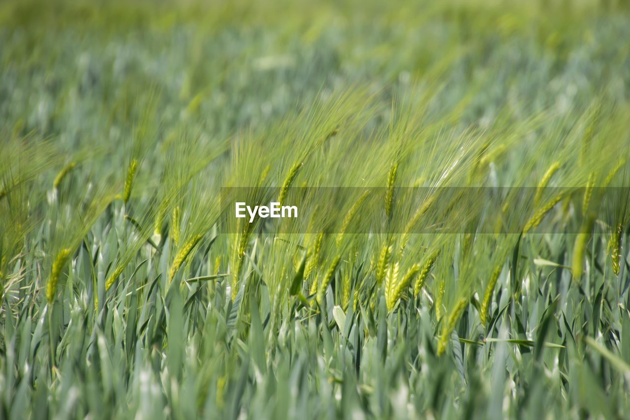 plant, agriculture, field, land, crop, growth, rural scene, landscape, green color, cereal plant, nature, farm, selective focus, beauty in nature, wheat, close-up, no people, day, tranquility, environment, outdoors, plantation