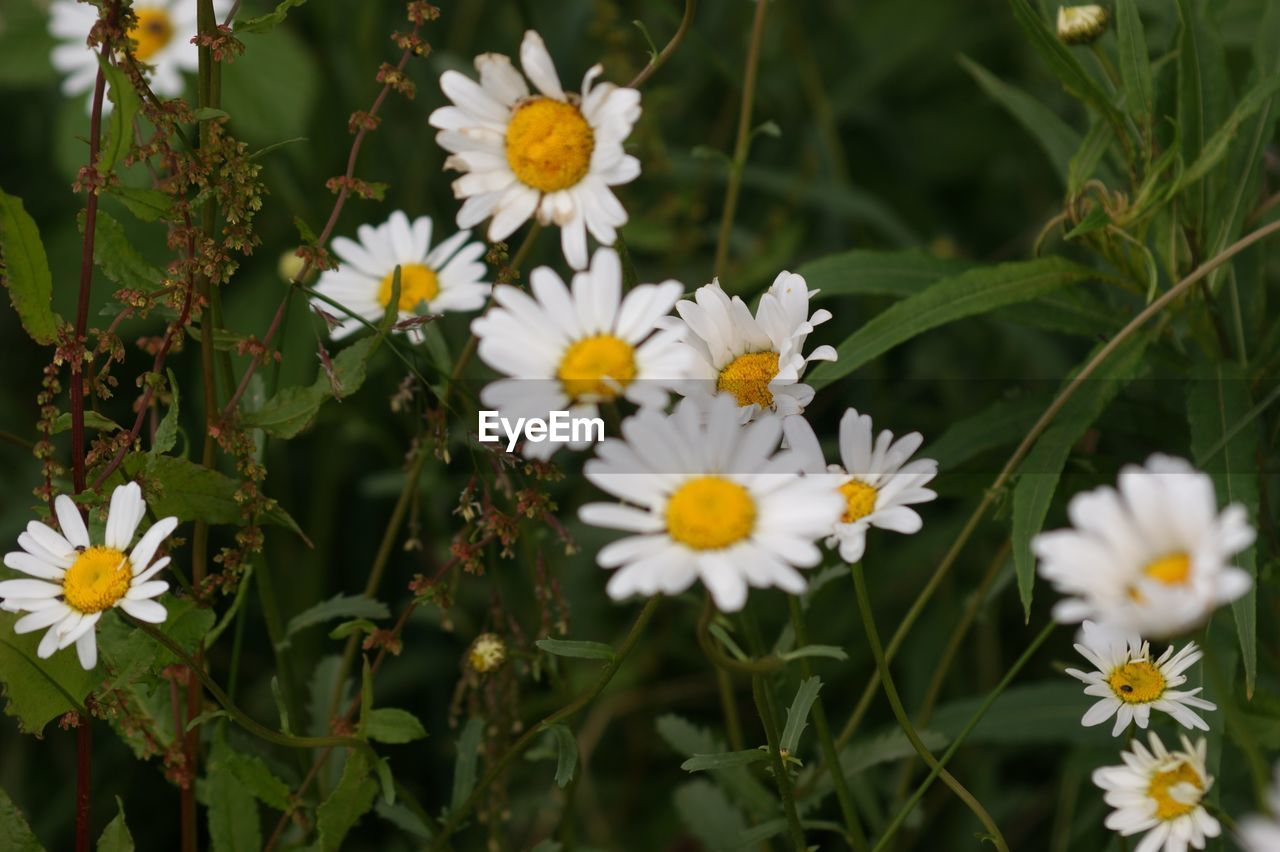 flower, fragility, petal, nature, beauty in nature, freshness, growth, white color, flower head, blooming, plant, no people, day, close-up, outdoors, yellow