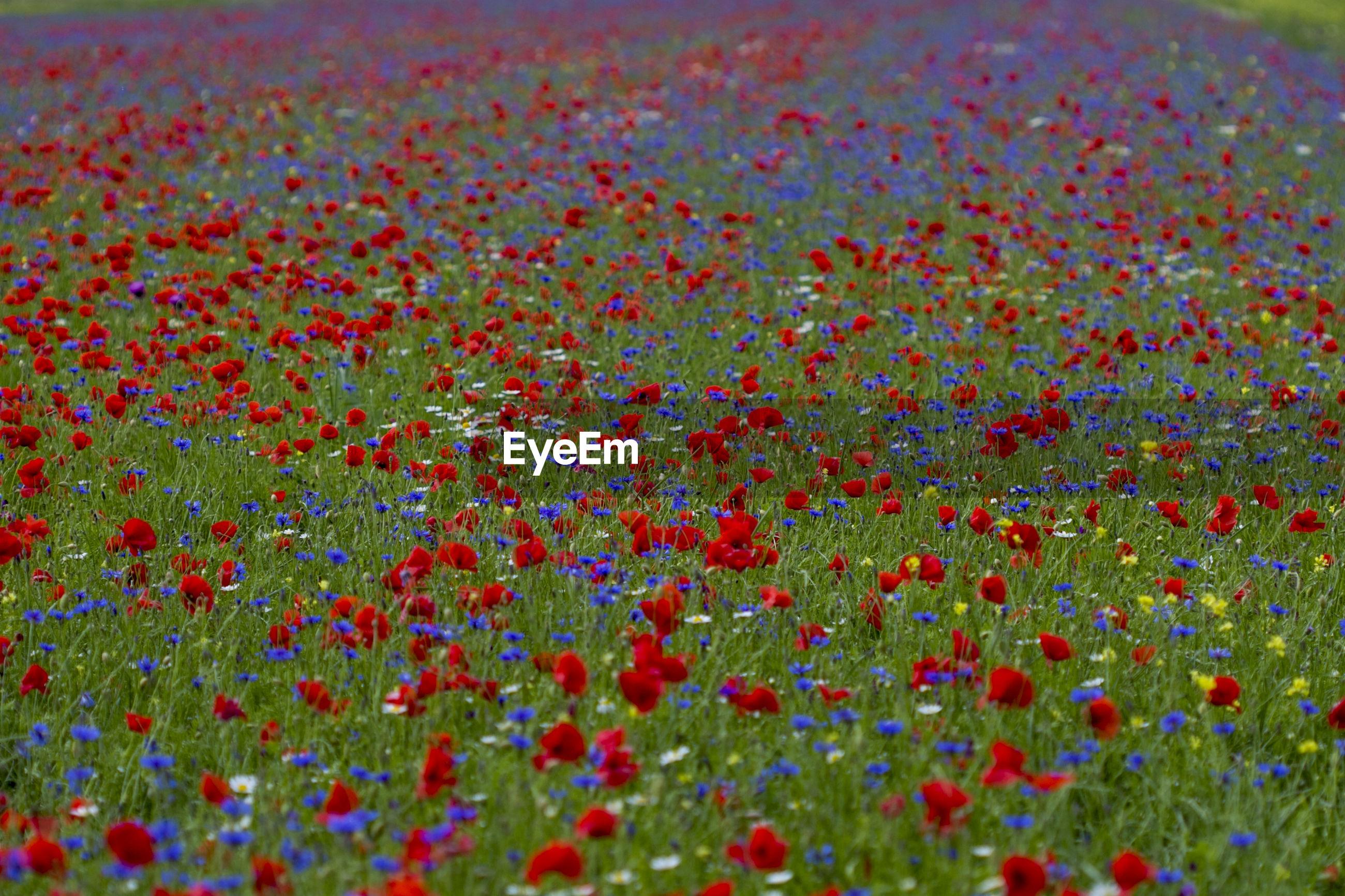 Full frame shot of multi colored flowers
