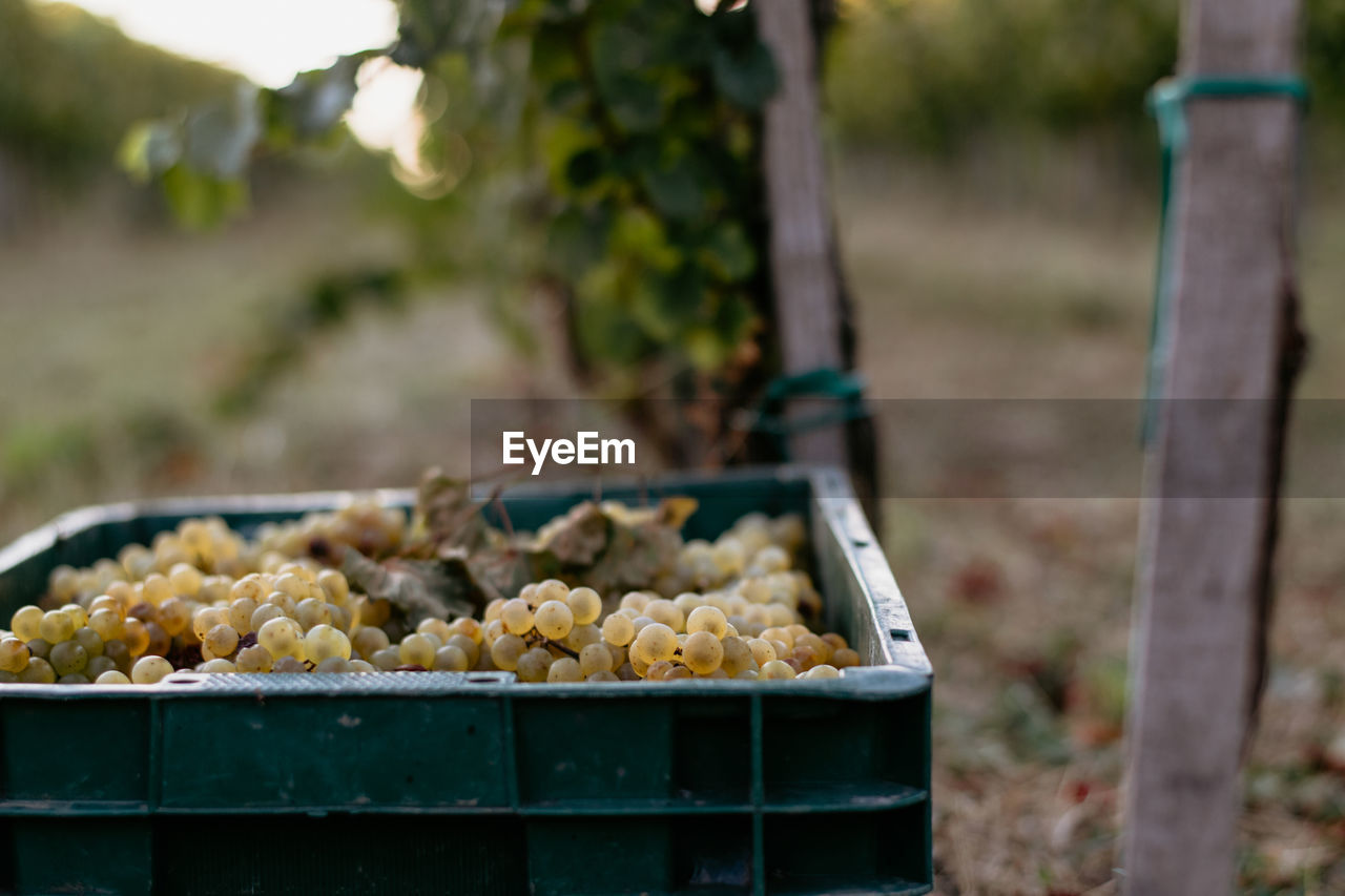 food and drink, food, focus on foreground, day, freshness, healthy eating, nature, wellbeing, close-up, agriculture, no people, container, outdoors, selective focus, farm, abundance, large group of objects, vegetable, potato, field, tray