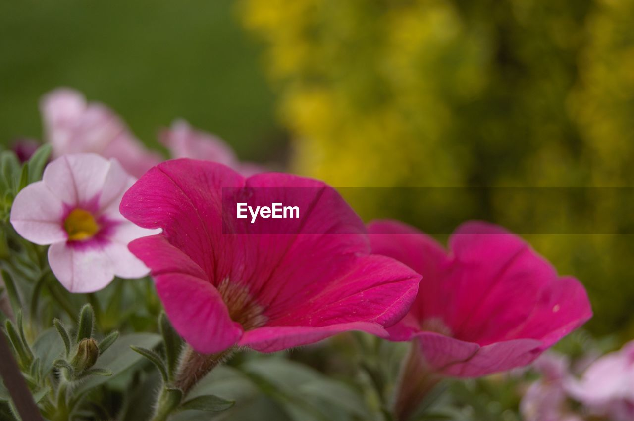 flowering plant, flower, plant, fragility, vulnerability, petal, beauty in nature, freshness, flower head, inflorescence, close-up, growth, pink color, focus on foreground, nature, no people, day, selective focus, outdoors, petunia