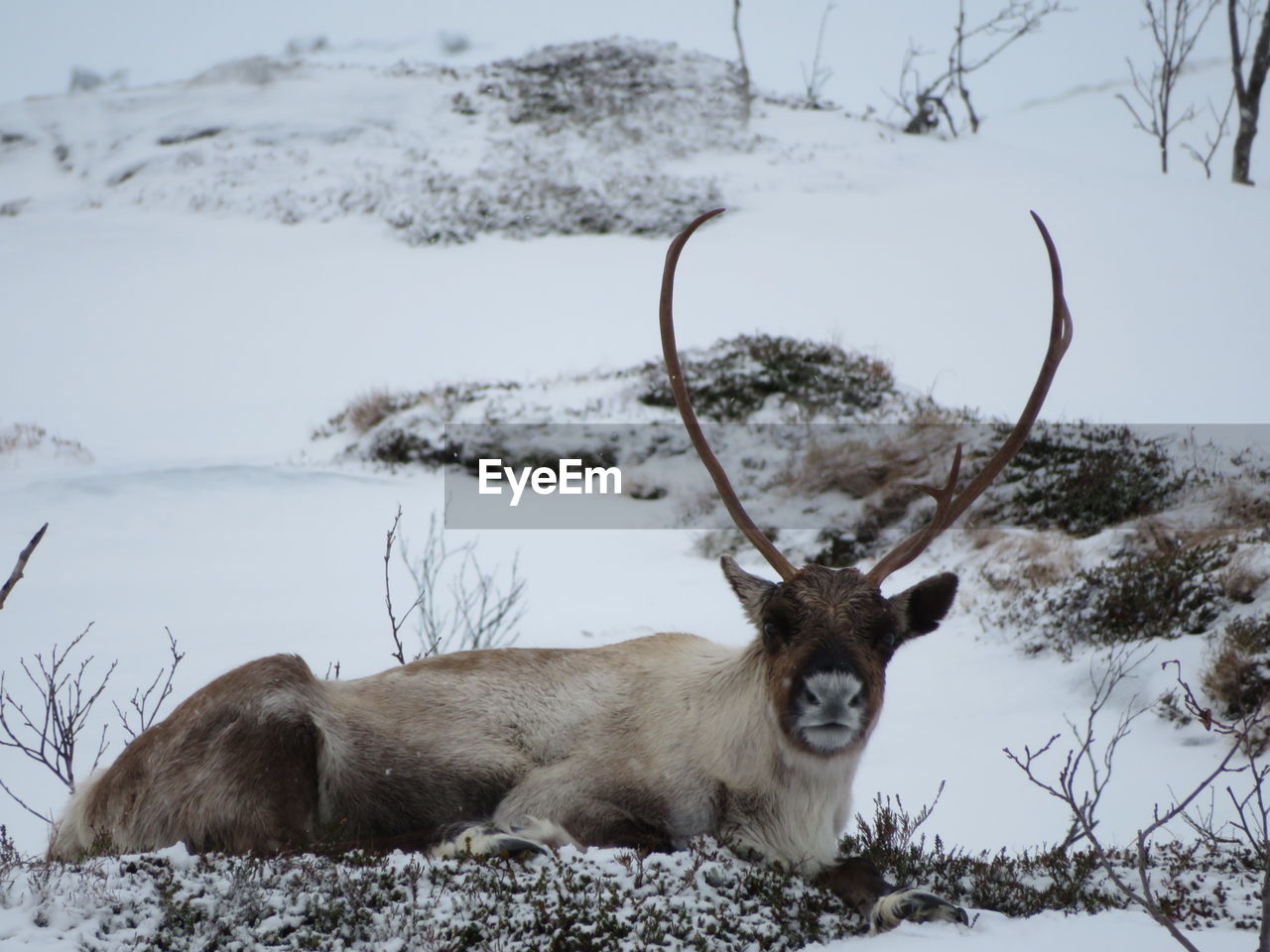 cold temperature, snow, winter, mammal, animal themes, animal, vertebrate, one animal, field, animal wildlife, nature, no people, deer, animals in the wild, day, domestic animals, land, focus on foreground, covering, herbivorous, snowcapped mountain