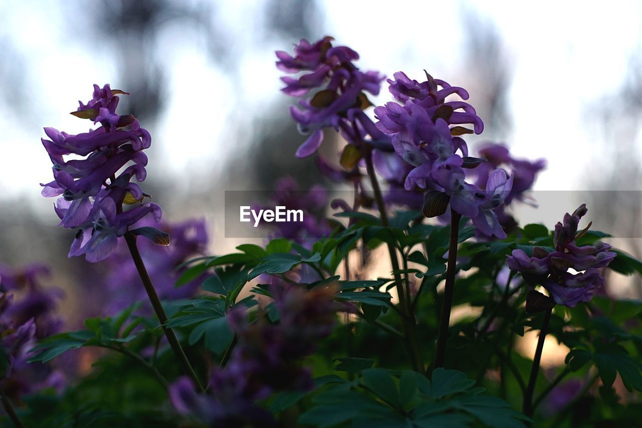 flower, purple, fragility, growth, nature, beauty in nature, plant, freshness, selective focus, day, outdoors, petal, no people, close-up, flower head