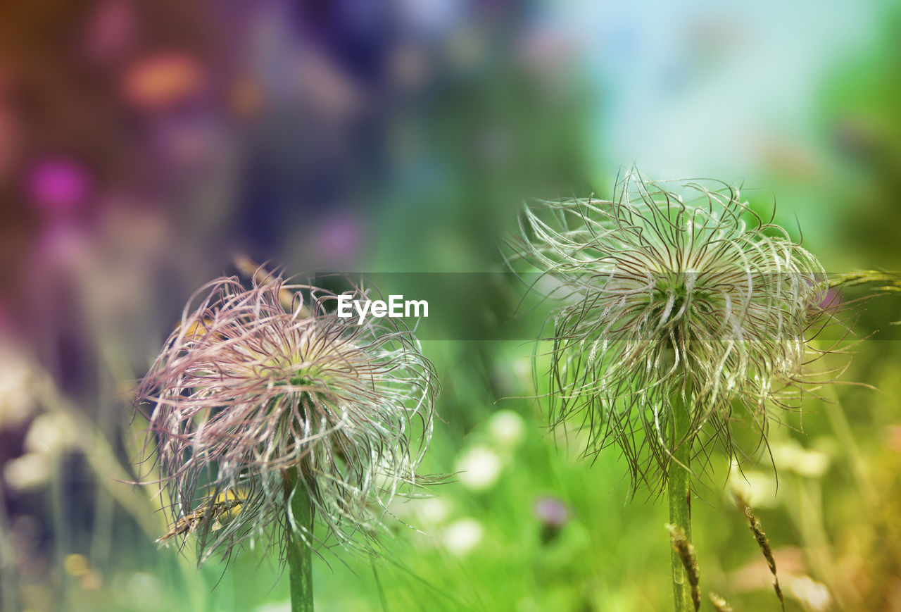 flower, nature, growth, fragility, beauty in nature, focus on foreground, plant, flower head, close-up, freshness, day, petal, outdoors, no people, blooming, thistle