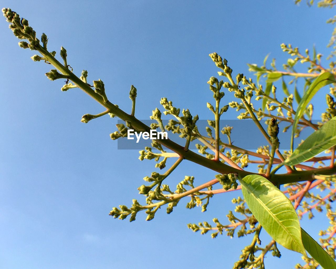 sky, plant, low angle view, tree, growth, beauty in nature, nature, branch, no people, clear sky, day, green color, leaf, plant part, blue, flower, flowering plant, outdoors, tranquility, sunlight, spring