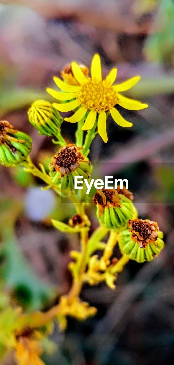 flower, flowering plant, plant, growth, fragility, vulnerability, flower head, close-up, inflorescence, beauty in nature, freshness, petal, nature, yellow, day, selective focus, focus on foreground, no people, botany, green color, pollen, outdoors