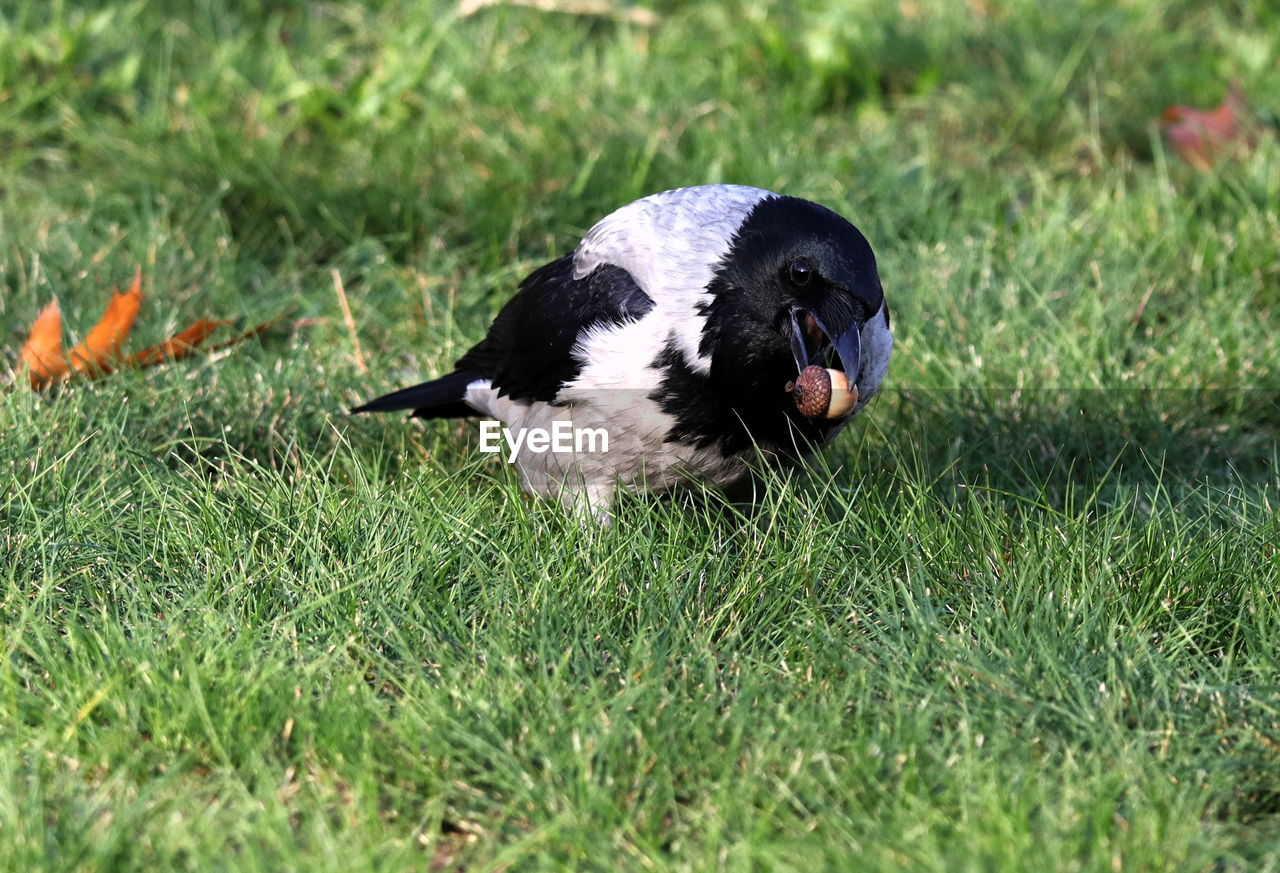 animal themes, animal, one animal, grass, vertebrate, plant, mammal, domestic, pets, land, no people, domestic animals, field, nature, green color, day, canine, dog, animals in the wild, selective focus, mouth open