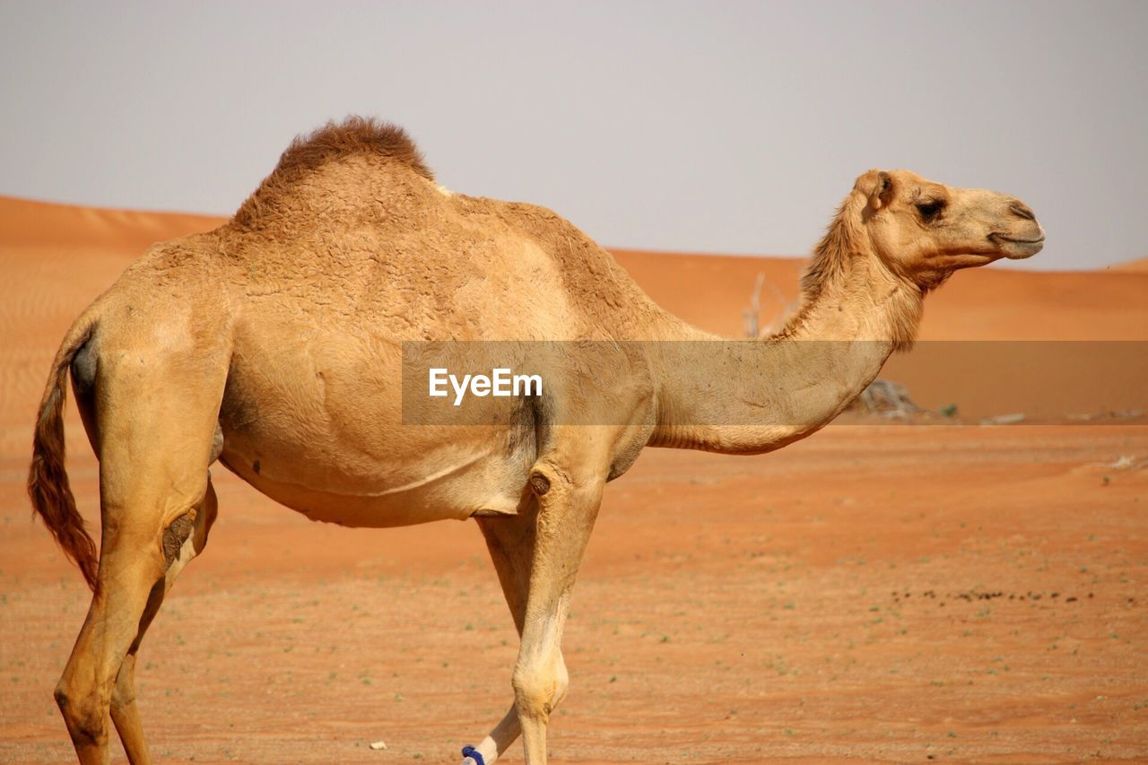 animal themes, animal, mammal, one animal, domestic animals, vertebrate, camel, side view, desert, animal wildlife, land, no people, pets, domestic, sky, livestock, brown, nature, clear sky, day, arid climate, climate, herbivorous, animal head, profile view