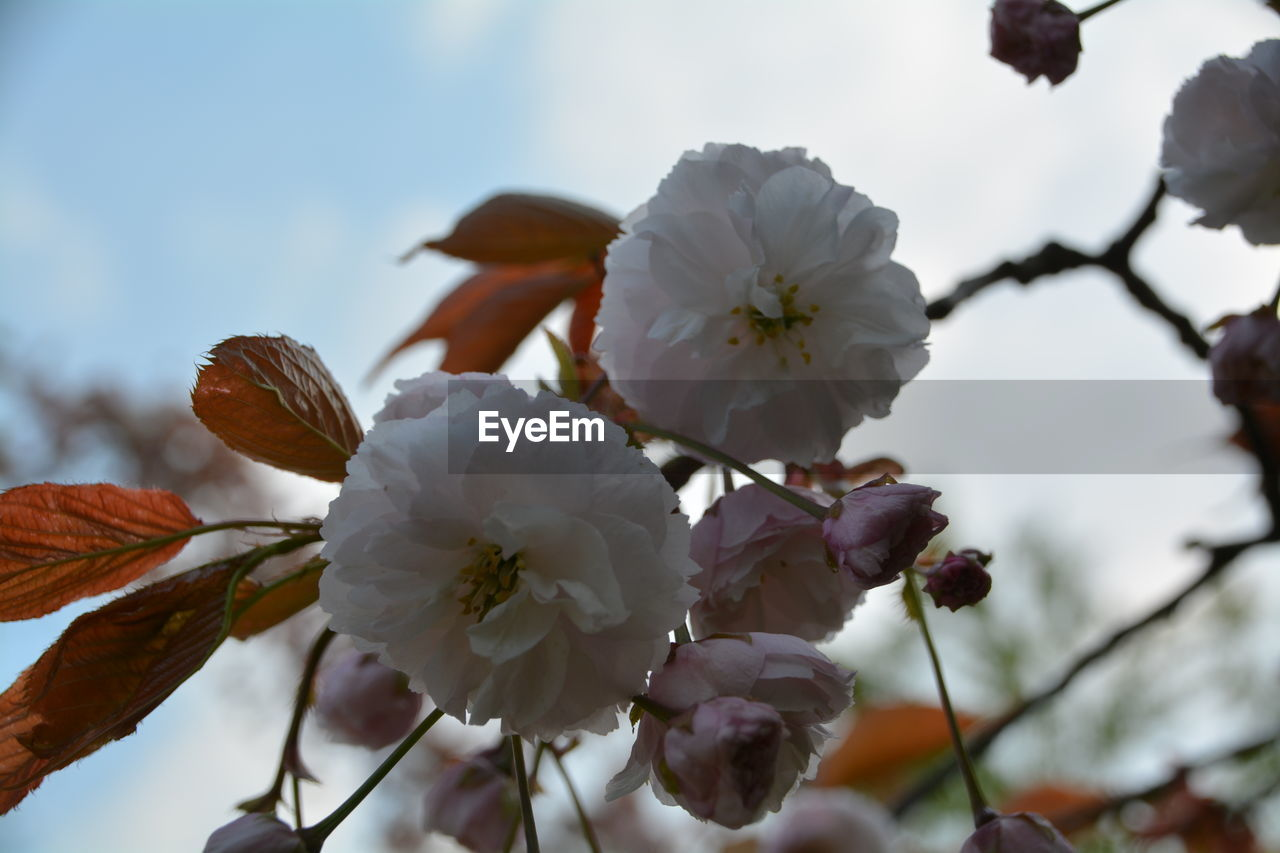 flower, fragility, white color, blossom, beauty in nature, springtime, petal, botany, growth, freshness, apple blossom, nature, flower head, tree, twig, branch, pollen, orchard, day, stamen, no people, low angle view, selective focus, plum blossom, outdoors, close-up, focus on foreground, blooming, sky