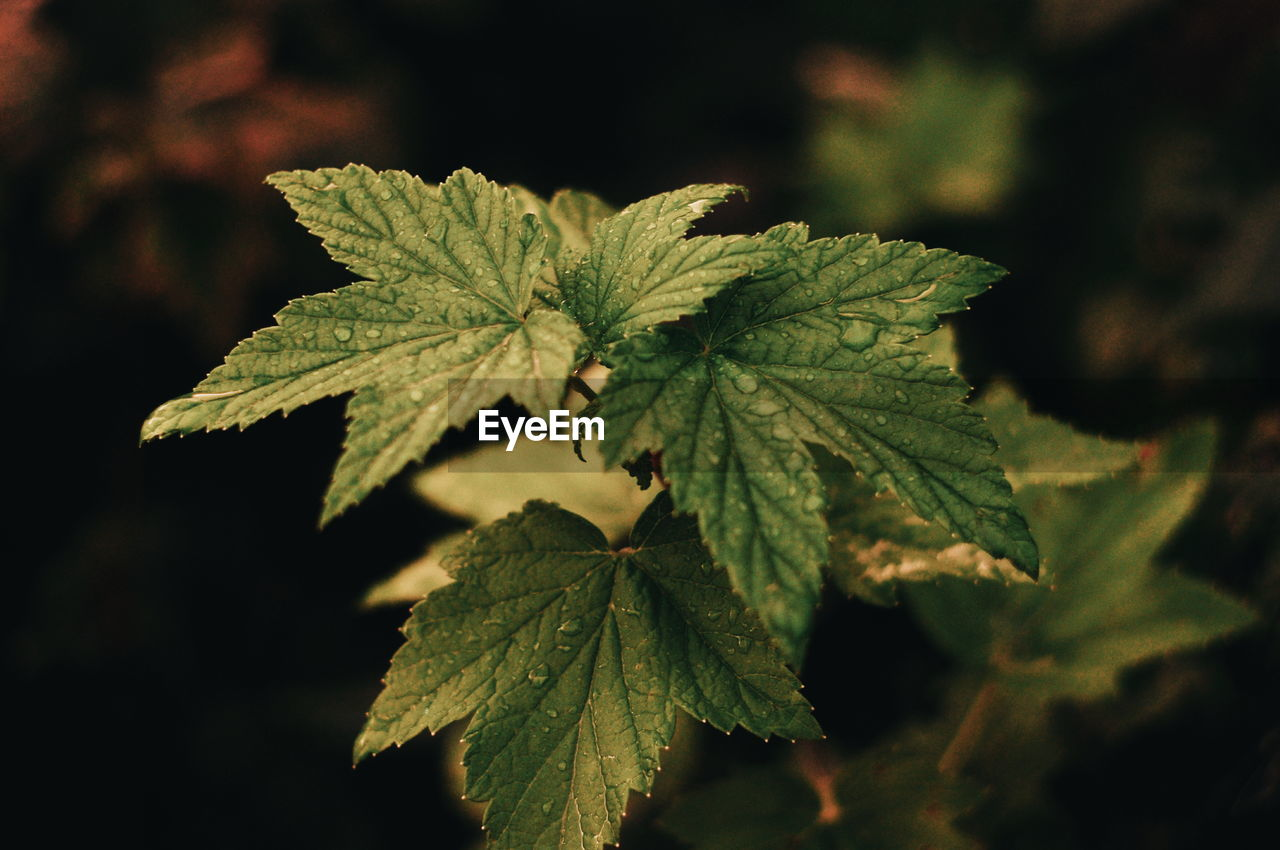 leaf, plant part, close-up, green color, plant, selective focus, growth, no people, nature, focus on foreground, beauty in nature, day, outdoors, food and drink, food, herb, leaf vein, healthcare and medicine, leaves, freshness