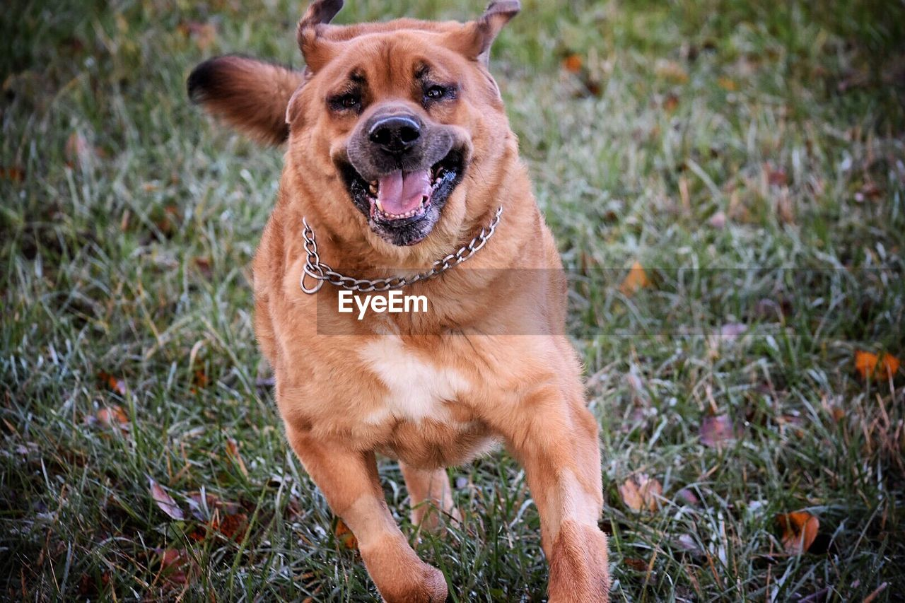 canine, one animal, dog, domestic, pets, animal themes, domestic animals, mammal, animal, grass, vertebrate, plant, field, land, nature, day, brown, no people, growth, focus on foreground, mouth open, outdoors, animal mouth, purebred dog