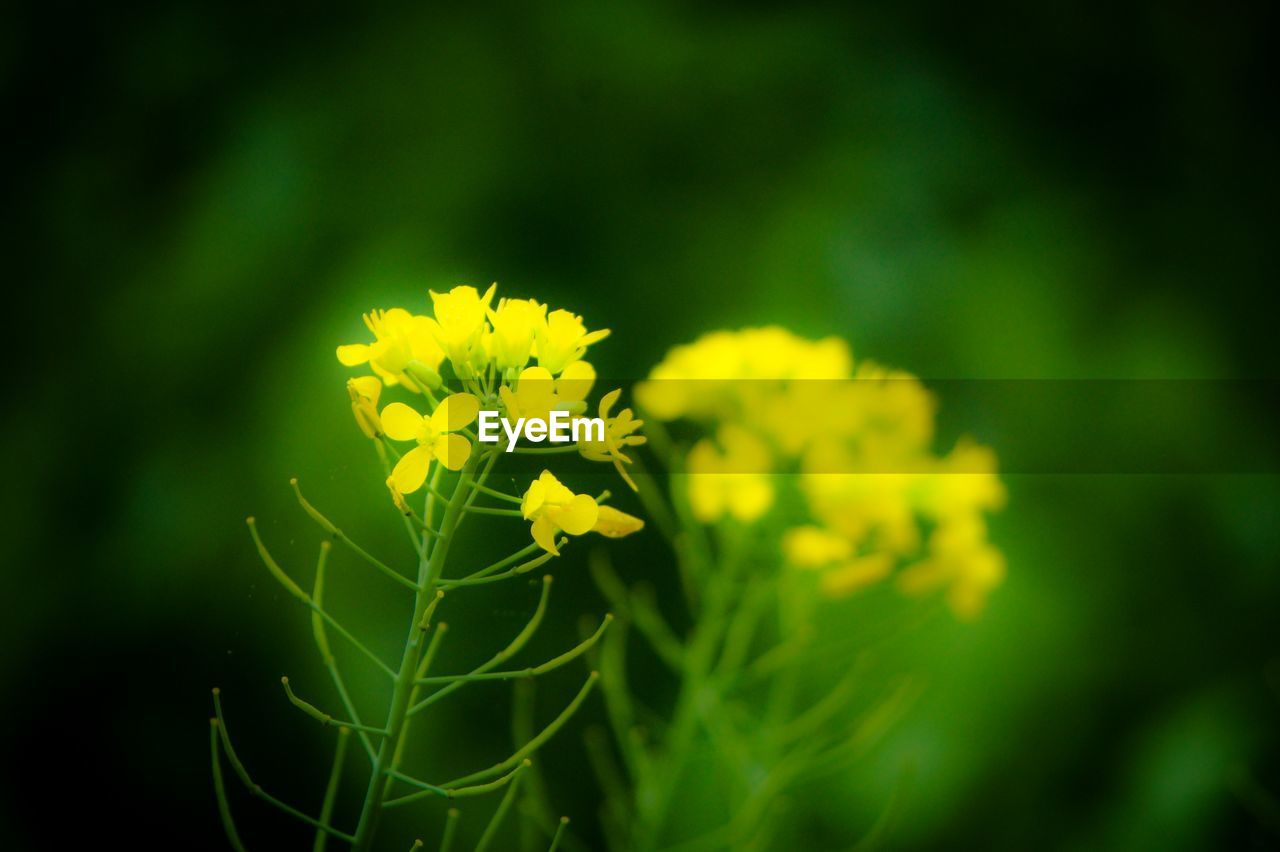 flower, beauty in nature, nature, yellow, growth, fragility, plant, green color, freshness, selective focus, no people, outdoors, petal, day, close-up, blooming, flower head