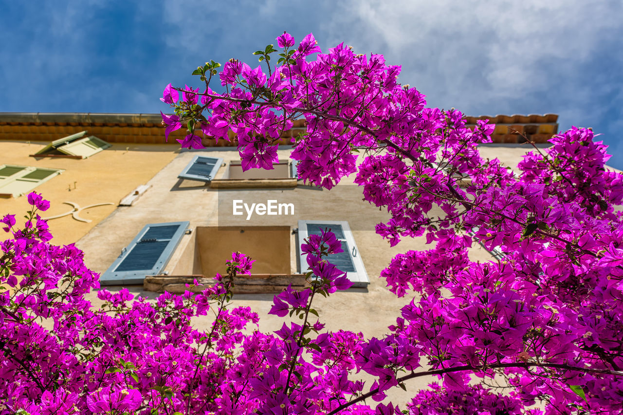 flower, pink color, fragility, tree, architecture, beauty in nature, built structure, low angle view, no people, growth, building exterior, nature, purple, freshness, branch, springtime, blossom, outdoors, sky, day, petal, blooming, bougainvillea, flower head