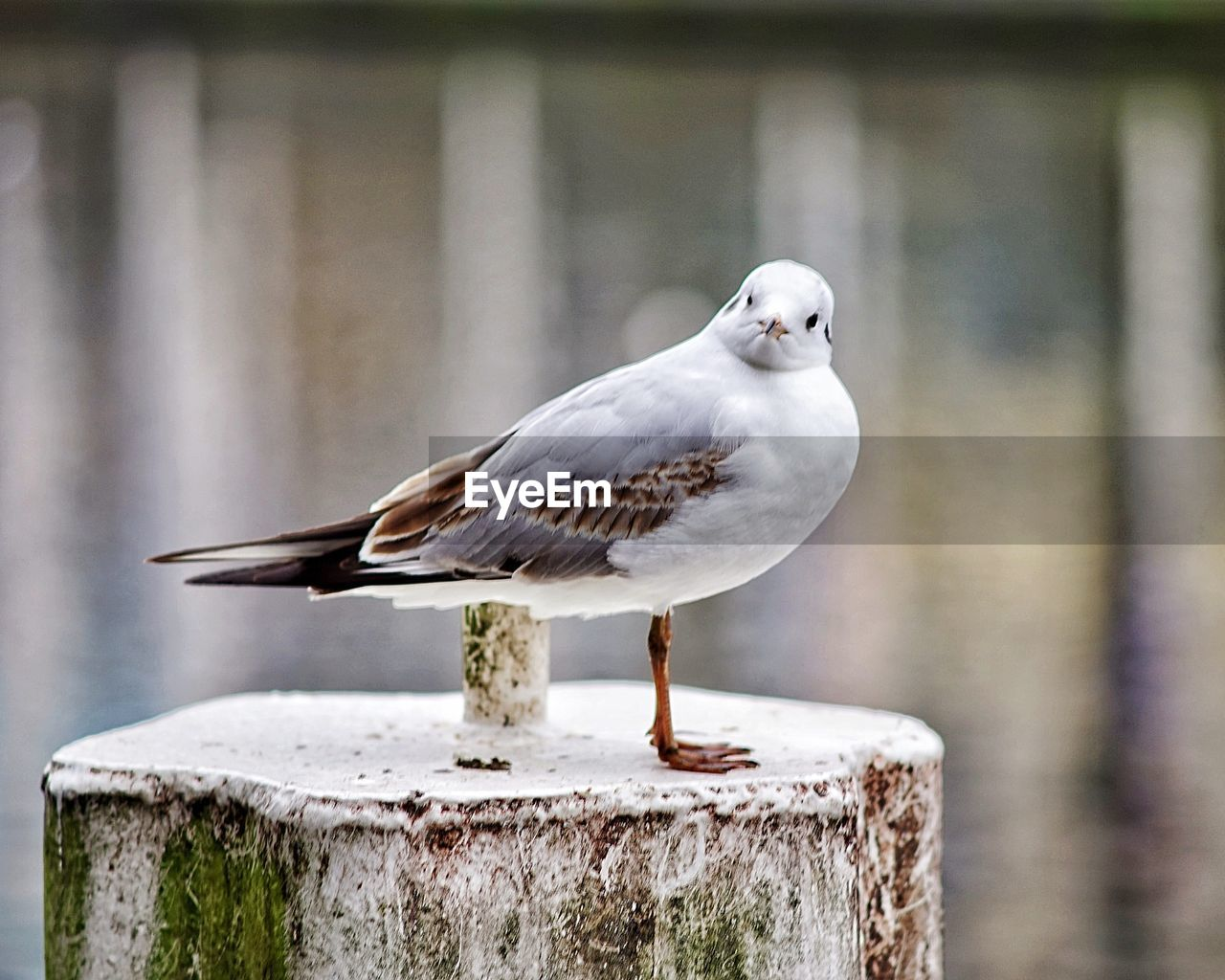 bird, perching, one animal, focus on foreground, animals in the wild, animal themes, animal wildlife, day, close-up, no people, outdoors, seagull, nature
