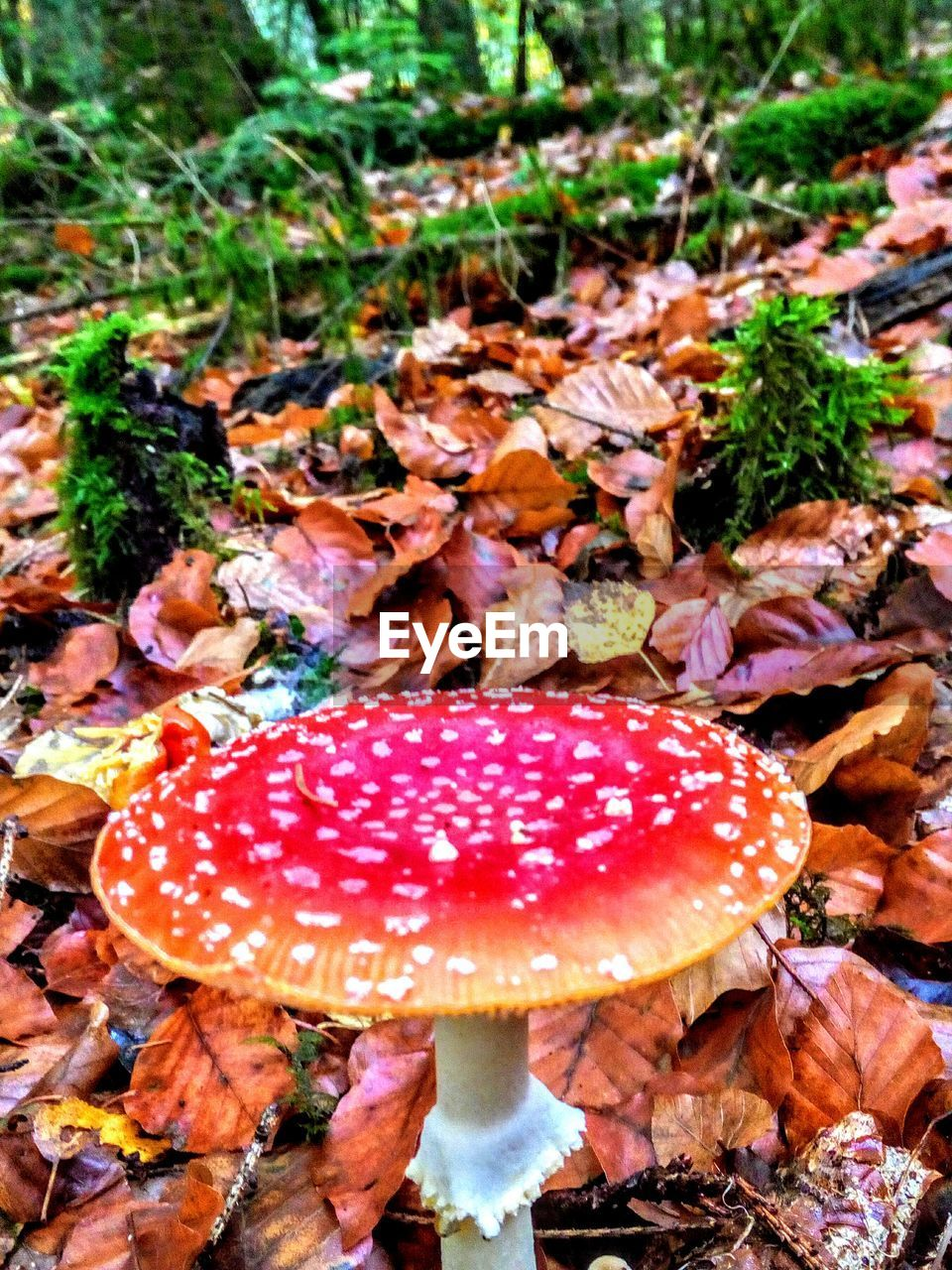 mushroom, fungus, food, vegetable, growth, leaf, fly agaric mushroom, plant part, plant, land, nature, no people, toadstool, edible mushroom, day, close-up, field, beauty in nature, red, forest, outdoors, poisonous
