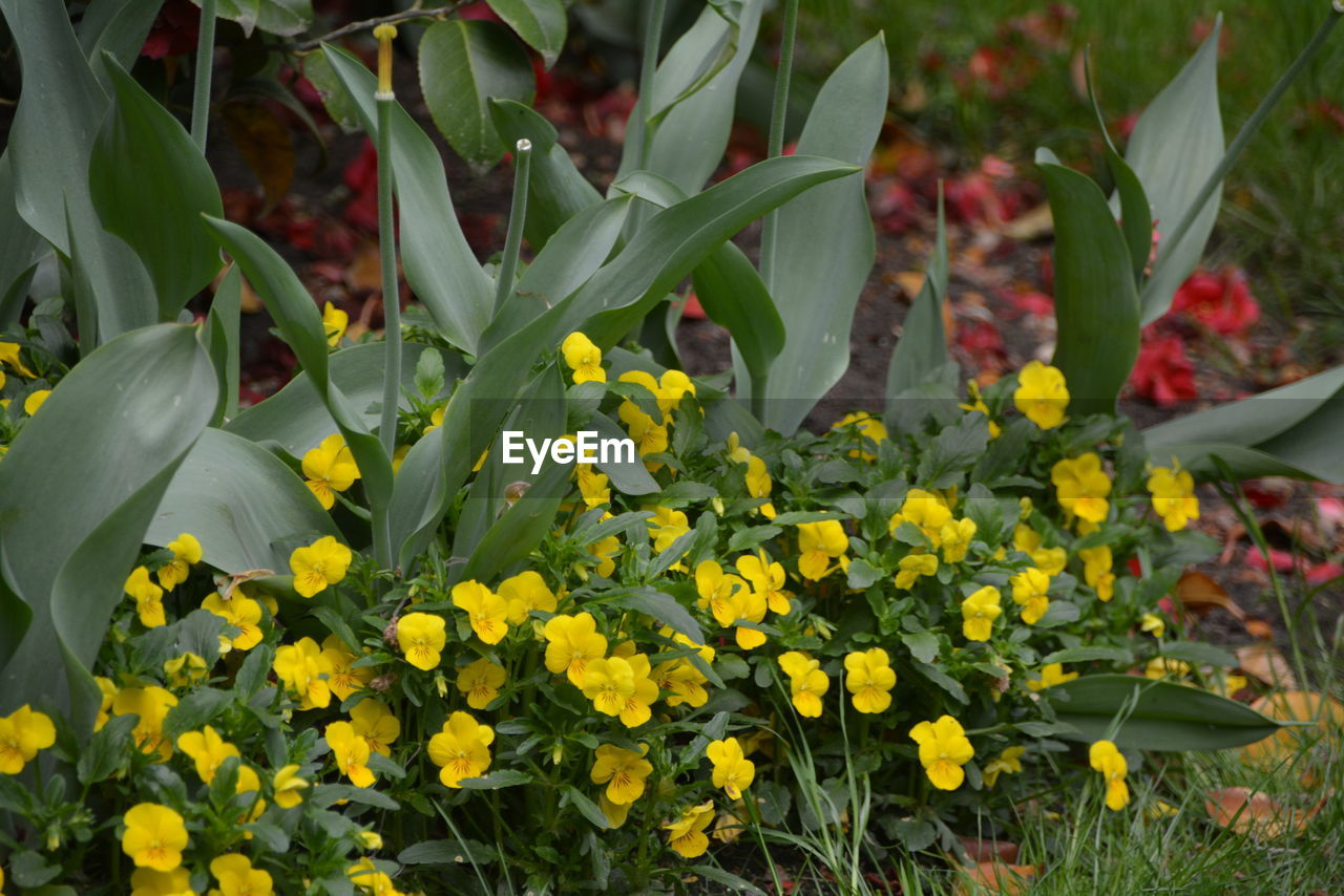 flower, flowering plant, plant, beauty in nature, growth, vulnerability, freshness, fragility, petal, yellow, close-up, nature, inflorescence, day, flower head, no people, field, land, botany, plant part, outdoors, springtime, flowerbed