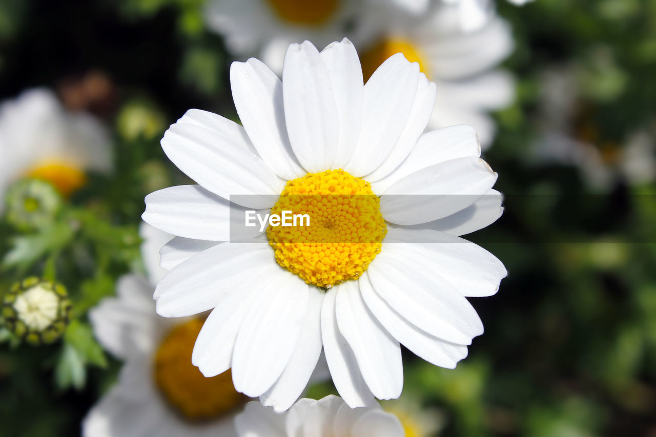 flowering plant, flower, fragility, vulnerability, petal, freshness, flower head, plant, beauty in nature, inflorescence, close-up, growth, white color, focus on foreground, daisy, pollen, yellow, nature, day
