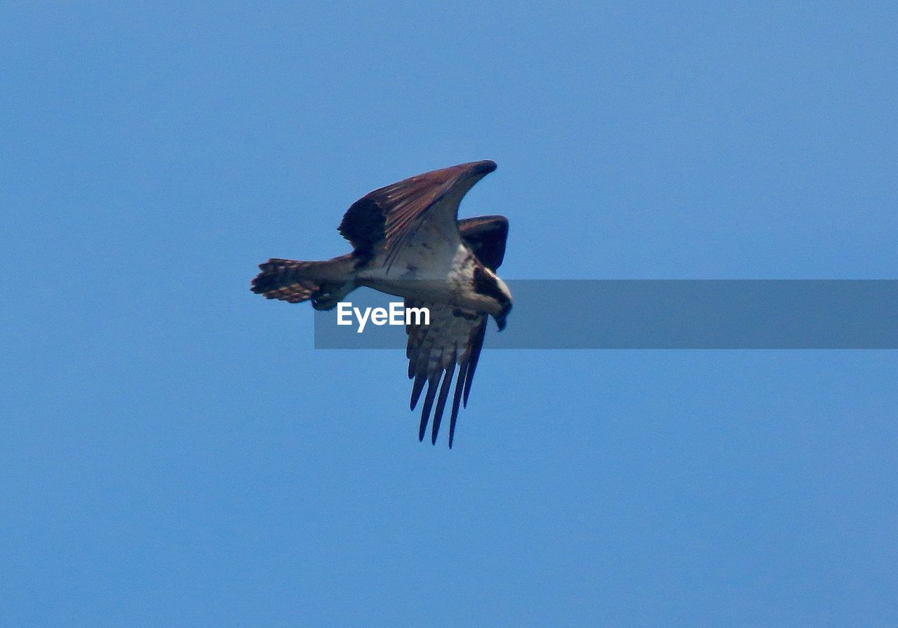 animals in the wild, animal wildlife, flying, one animal, clear sky, animal themes, vertebrate, animal, bird, spread wings, low angle view, sky, copy space, blue, no people, mid-air, nature, day, motion, outdoors