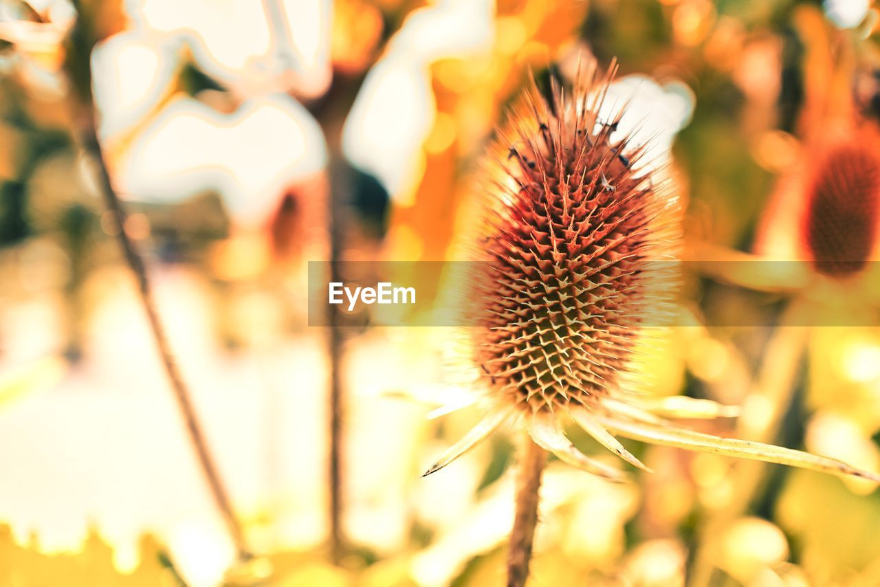 flower, focus on foreground, flowering plant, beauty in nature, plant, close-up, growth, freshness, vulnerability, fragility, nature, no people, day, flower head, selective focus, inflorescence, plant stem, outdoors, orange color, field, spiky, dried