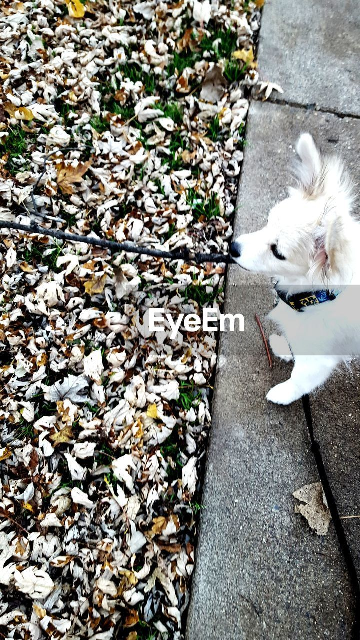 pets, dog, domestic animals, one animal, animal themes, mammal, high angle view, white color, day, outdoors, no people, leaf, autumn, nature, close-up, west highland white terrier