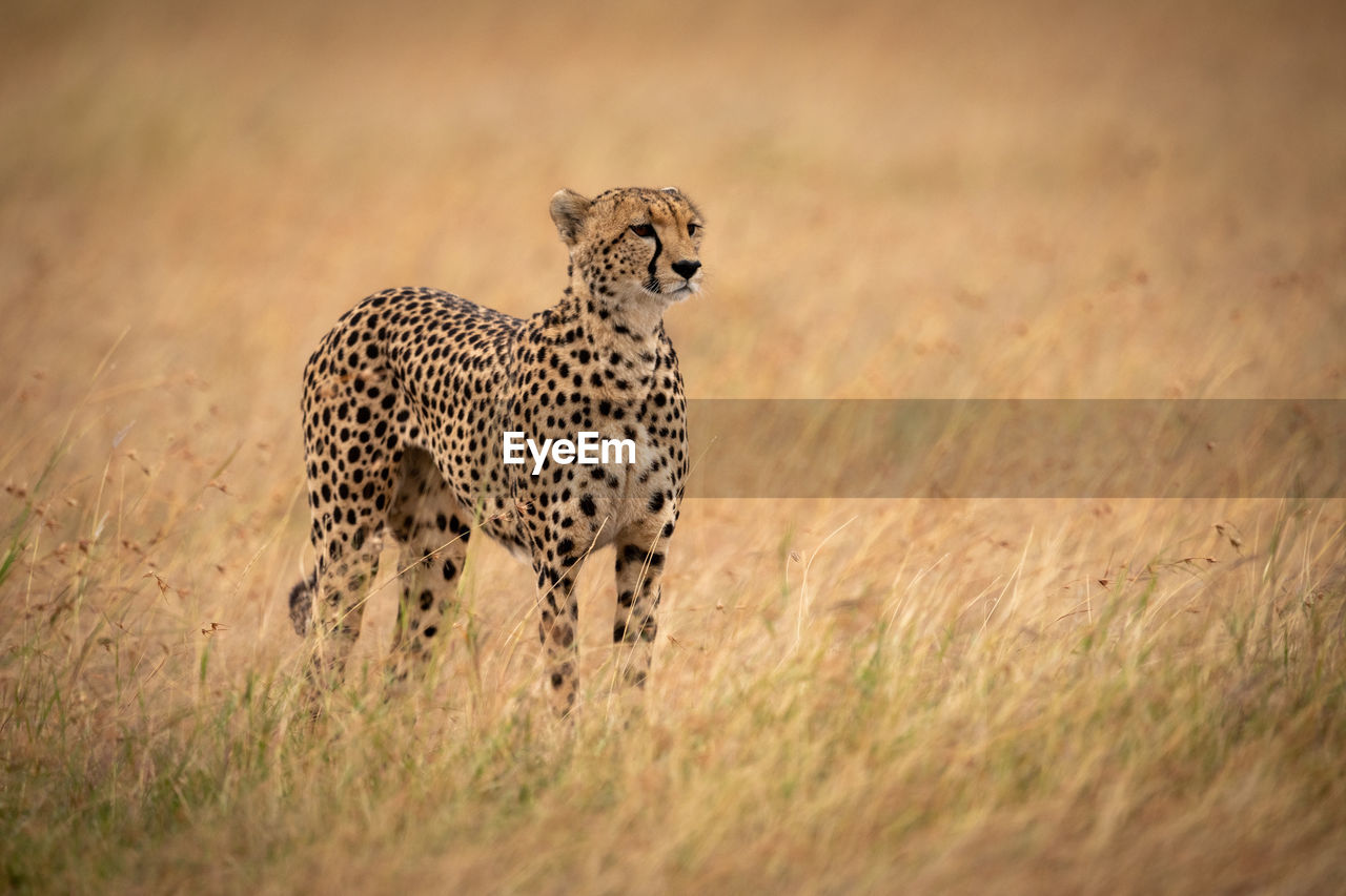 Side view of cheetah standing on field in forest