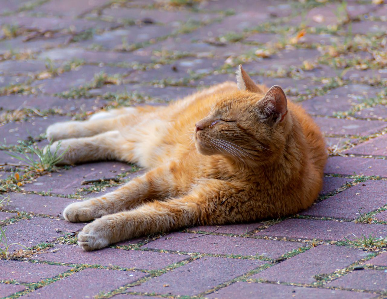 feline, cat, mammal, domestic cat, animal, animal themes, one animal, pets, domestic, relaxation, lying down, domestic animals, footpath, vertebrate, no people, whisker, resting, brown, day, city, ginger cat, paving stone