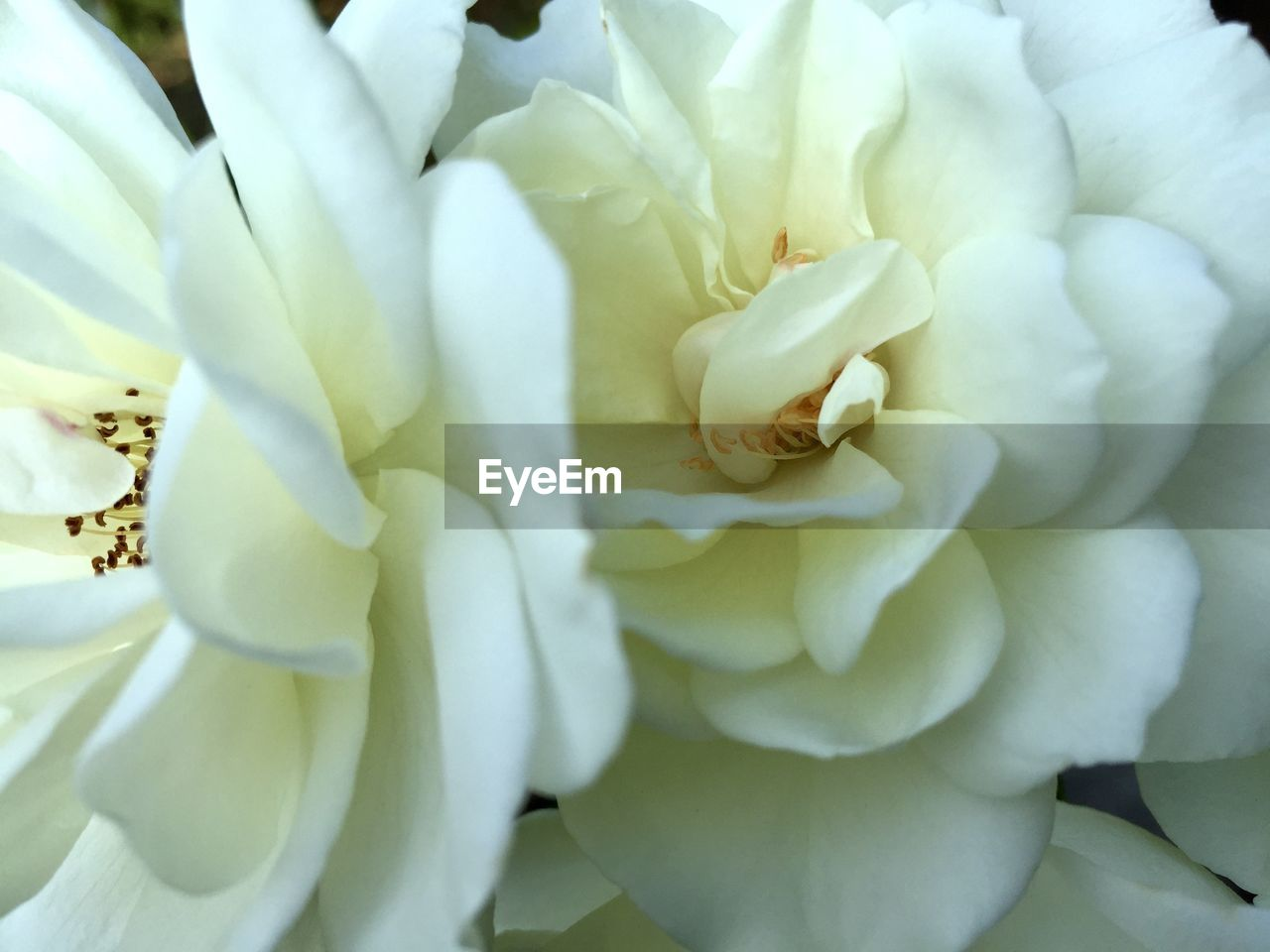 flower, petal, nature, beauty in nature, fragility, full frame, freshness, flower head, backgrounds, white color, growth, close-up, no people, blossom, plant, blooming, outdoors, day