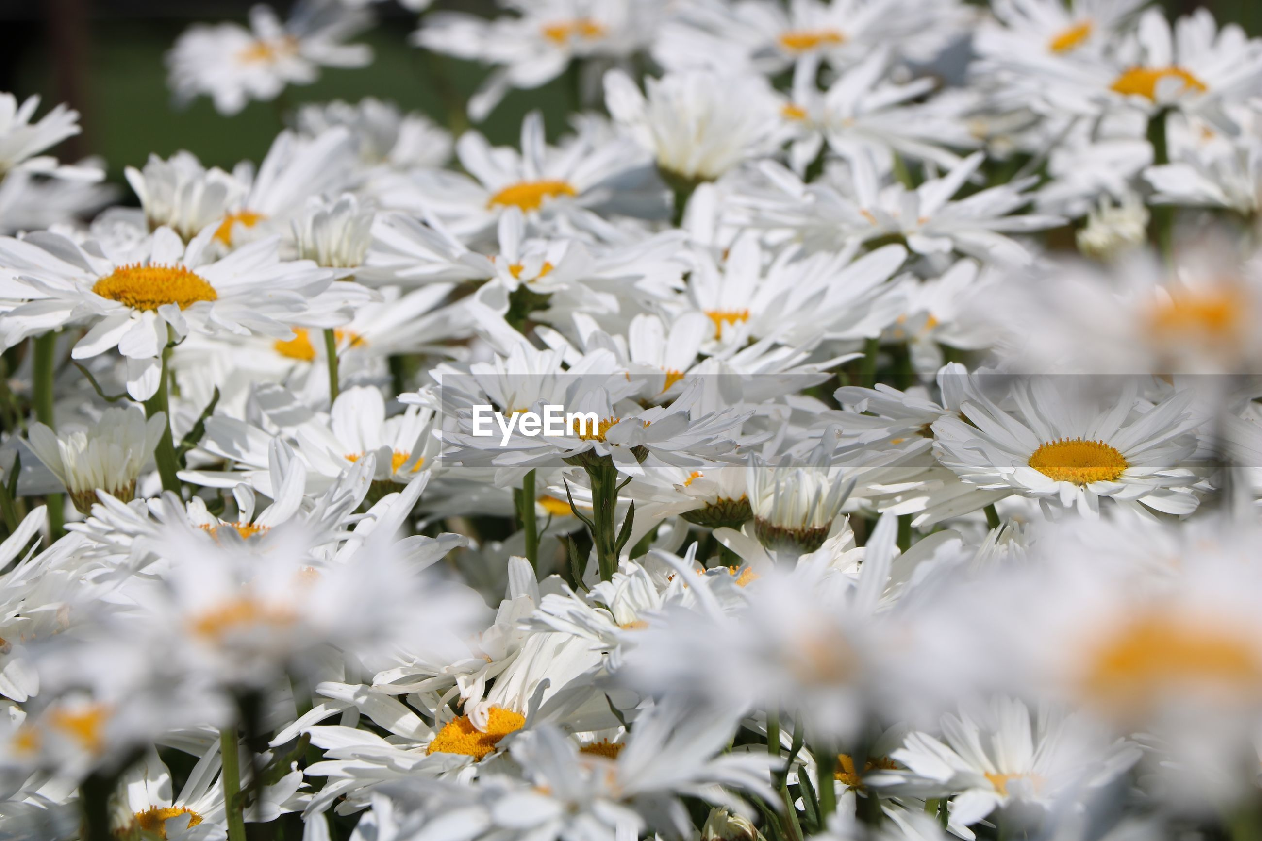 CLOSE UP OF WHITE DAISY FLOWERS
