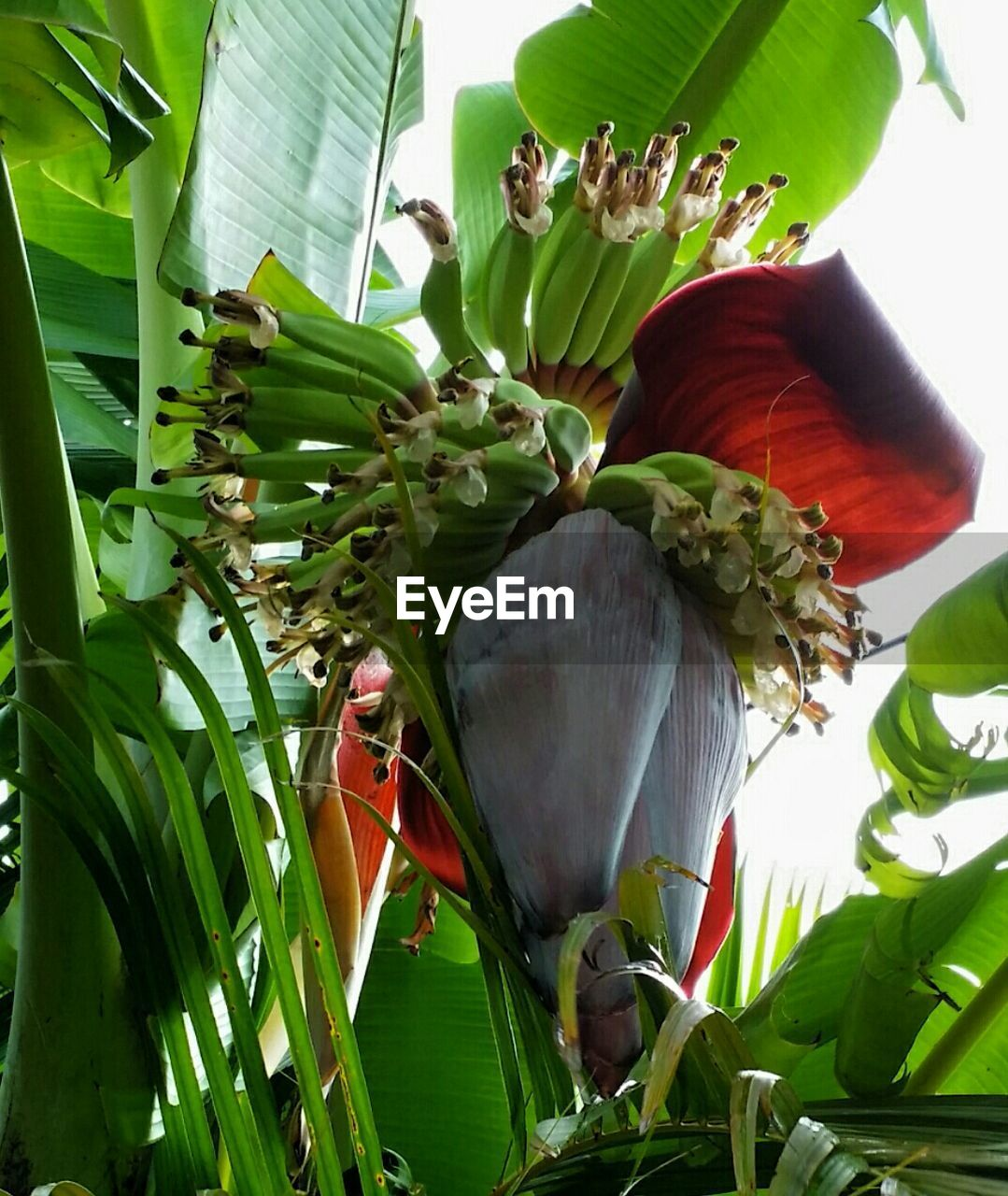 Low Angle View Of Banana Flower Hanging On Tree