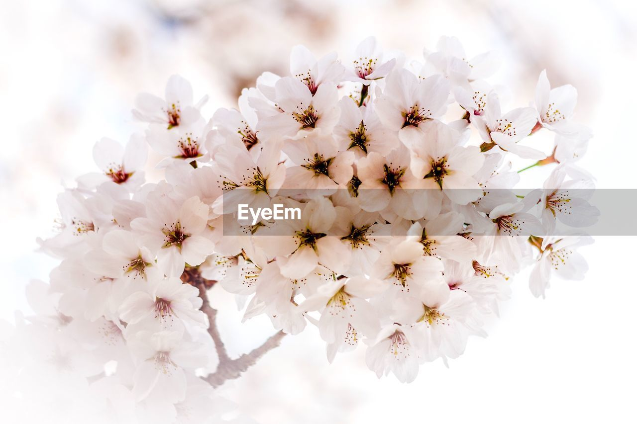 flower, flowering plant, plant, freshness, fragility, vulnerability, beauty in nature, white color, growth, close-up, petal, flower head, inflorescence, no people, blossom, tree, nature, springtime, day, botany, cherry blossom, pollen, cherry tree, bunch of flowers