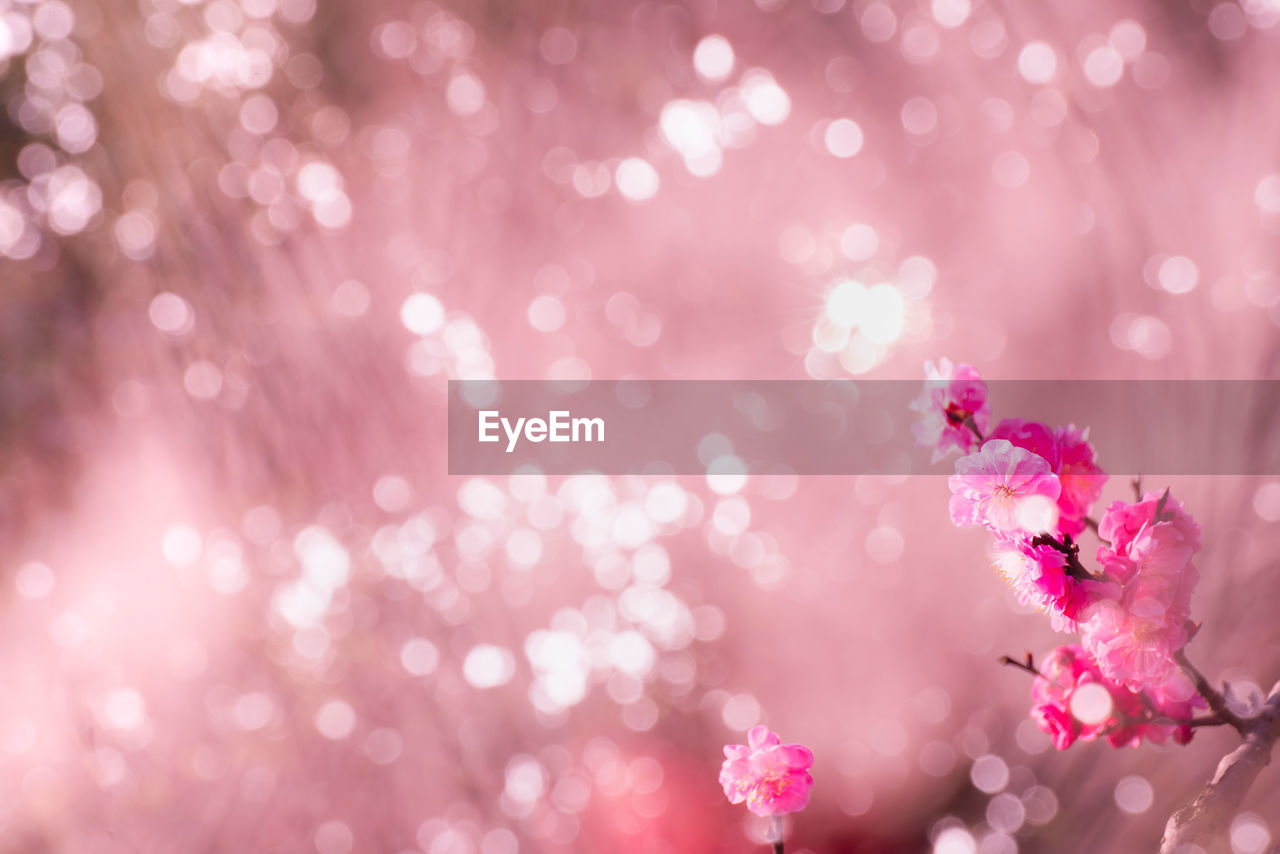 pink color, flowering plant, flower, freshness, plant, beauty in nature, fragility, vulnerability, no people, close-up, selective focus, growth, nature, petal, flower head, day, springtime, blossom, outdoors, cherry blossom, purple, cherry tree