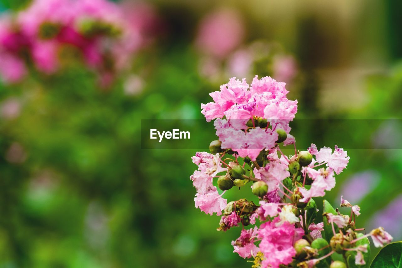 flower, flowering plant, plant, vulnerability, fragility, freshness, beauty in nature, growth, close-up, pink color, day, nature, petal, flower head, no people, focus on foreground, inflorescence, outdoors, selective focus, botany, lantana, lilac