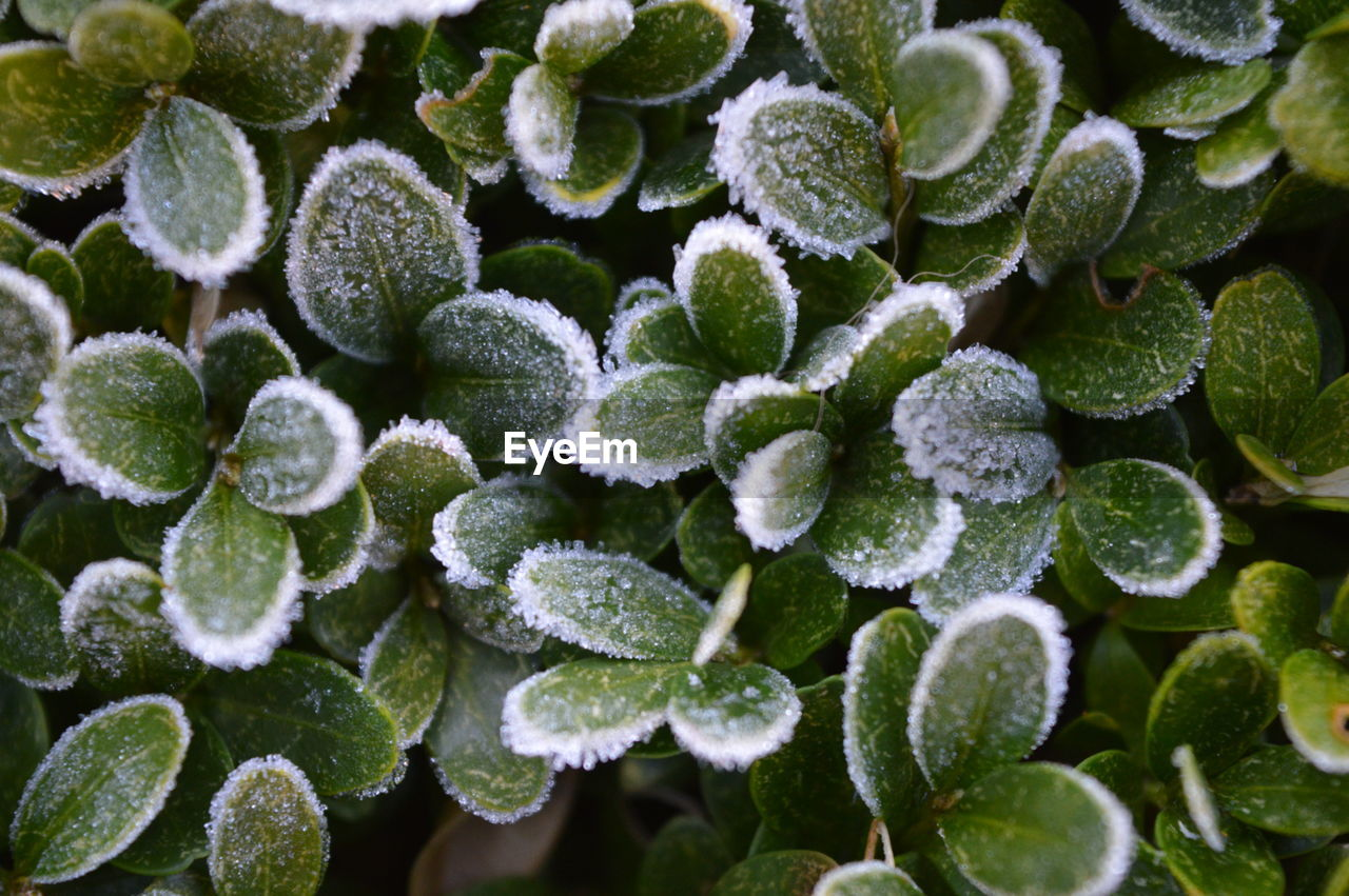 growth, plant, beauty in nature, close-up, green color, nature, no people, plant part, leaf, day, full frame, fragility, vulnerability, freshness, natural pattern, selective focus, cold temperature, backgrounds, frost, succulent plant, flower head, leaves