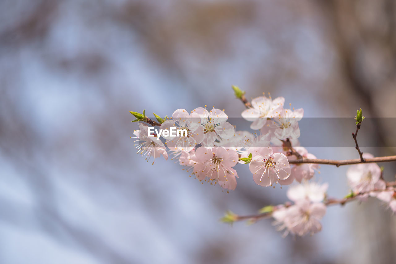 flower, flowering plant, plant, fragility, growth, beauty in nature, vulnerability, freshness, tree, close-up, selective focus, blossom, nature, springtime, branch, day, no people, petal, focus on foreground, flower head, cherry blossom, outdoors, cherry tree, pollen