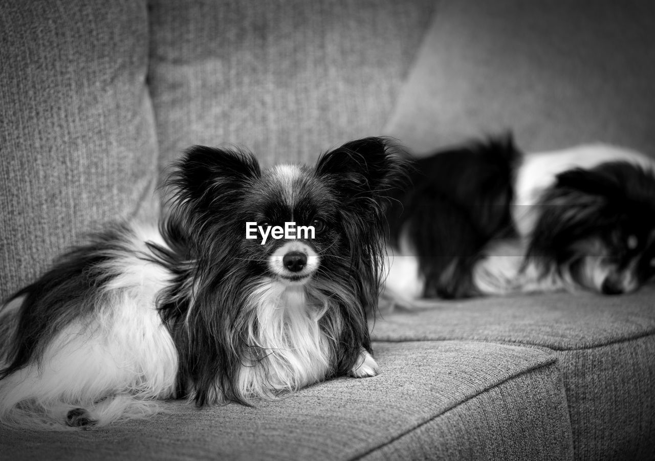 pets, domestic, domestic animals, canine, dog, animal themes, mammal, animal, one animal, lap dog, relaxation, vertebrate, portrait, indoors, sofa, young animal, small, focus on foreground, looking at camera, no people, animal head, shih tzu