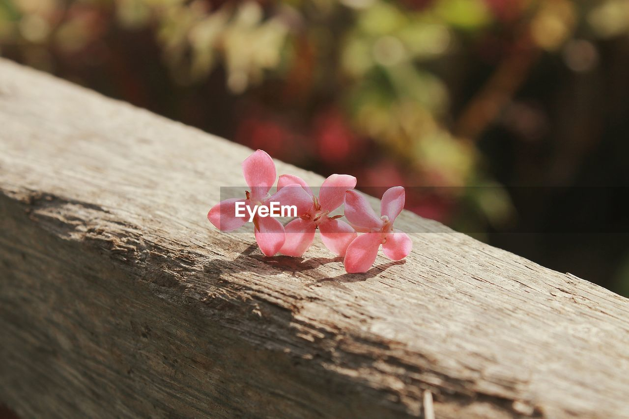 Close-up of pink ixora on wooden railing