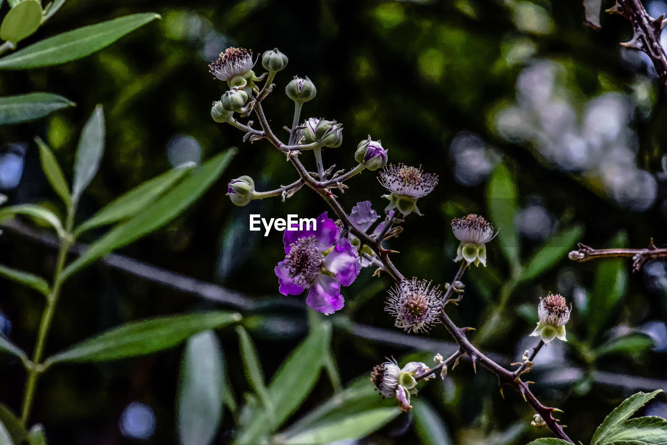 CLOSE-UP OF FRESH PURPLE FLOWERING PLANT