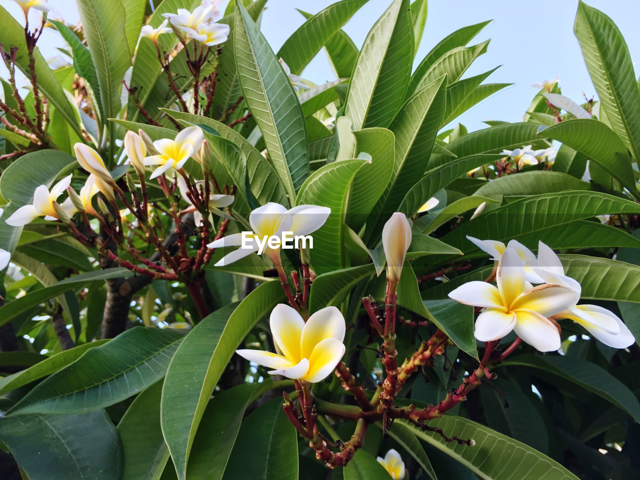 Low angle view of frangipanis blooming on plant