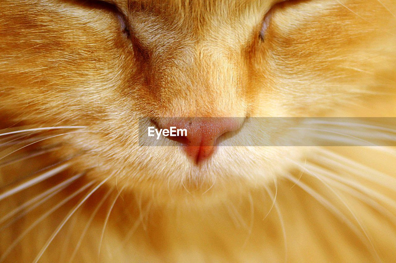 one animal, animal themes, mammal, animal, pets, domestic, cat, feline, domestic animals, domestic cat, animal body part, whisker, vertebrate, close-up, no people, animal head, eyes closed, relaxation, indoors, sleeping, ginger cat, animal nose, snout