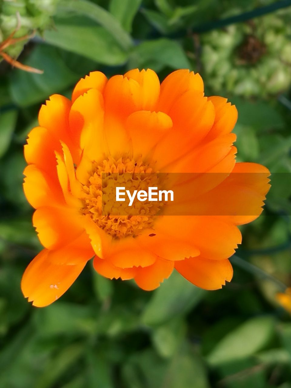 flower, beauty in nature, yellow, nature, petal, fragility, plant, flower head, freshness, orange color, growth, vibrant color, outdoors, close-up, no people, blooming, day, marigold