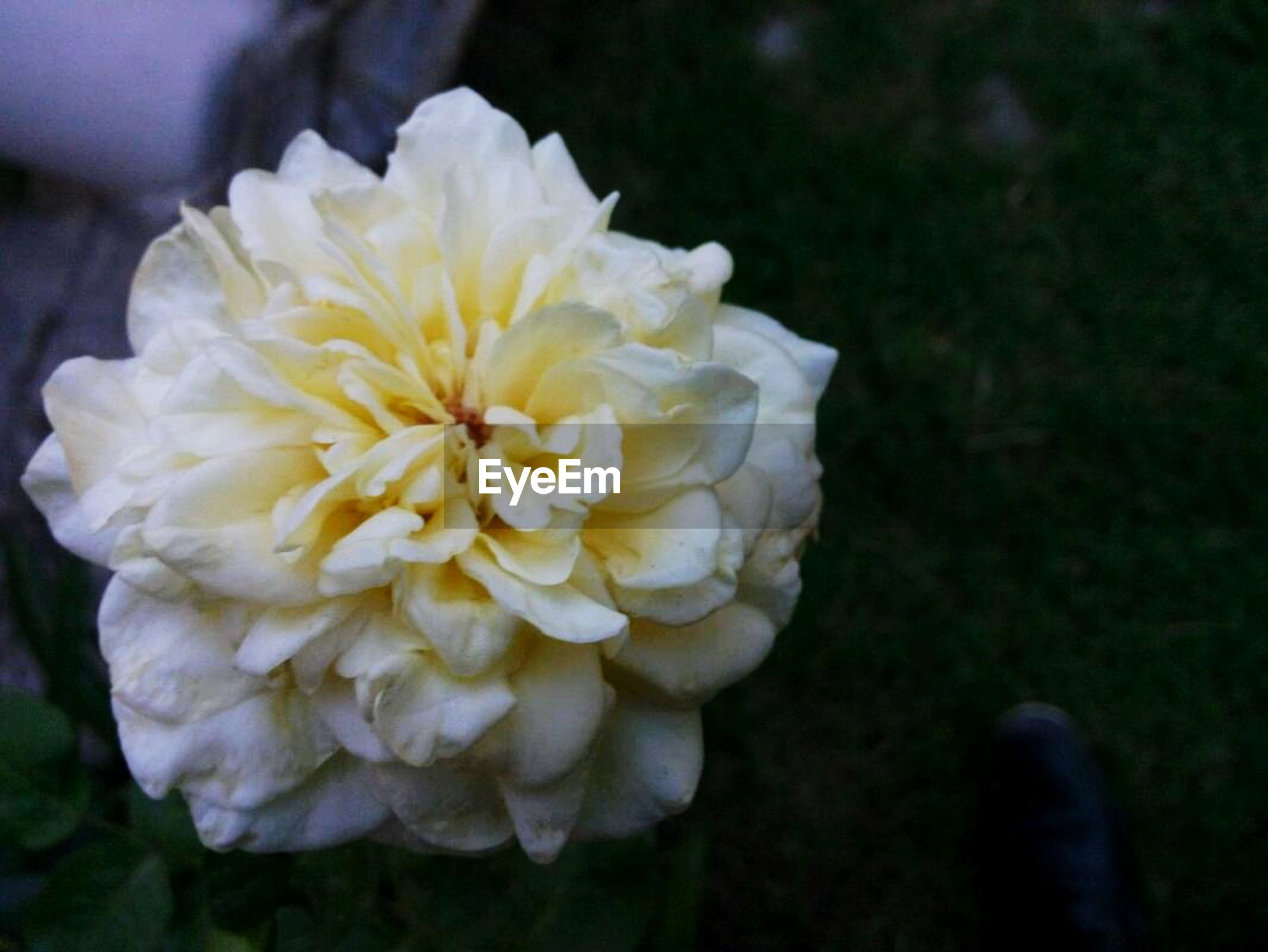 flower, petal, fragility, freshness, flower head, growth, beauty in nature, close-up, focus on foreground, blooming, nature, white color, plant, single flower, in bloom, yellow, selective focus, outdoors, park - man made space, blossom
