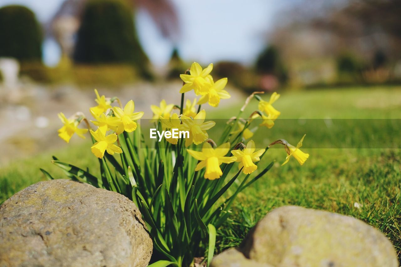 flower, yellow, nature, beauty in nature, plant, growth, fragility, freshness, field, focus on foreground, outdoors, day, close-up, petal, no people, flower head, grass, blooming, crocus