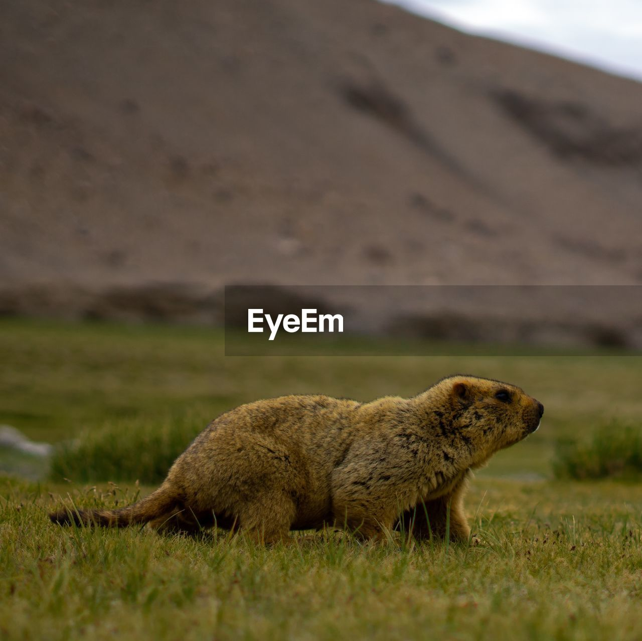 Side view of himalayan marmot on land