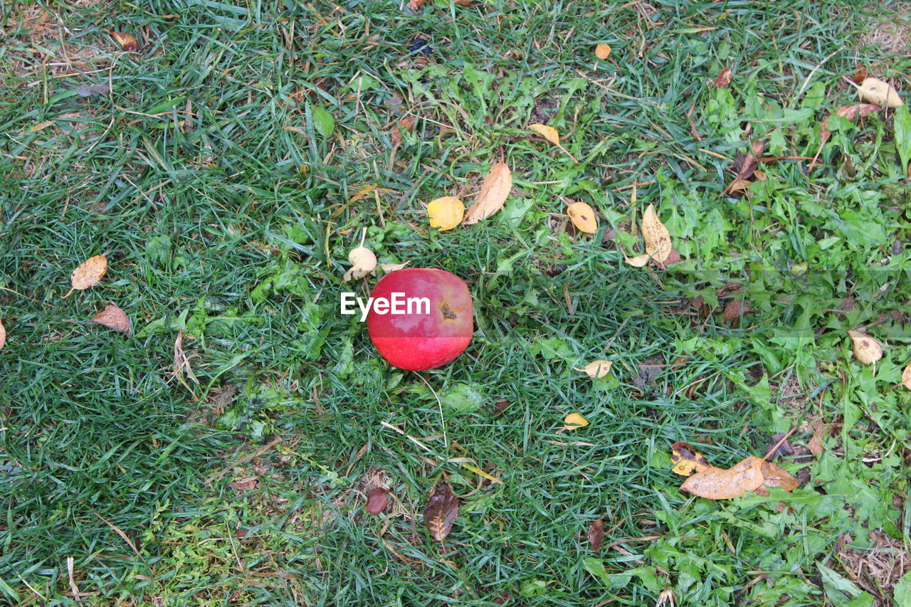 grass, red, nature, growth, high angle view, fruit, field, outdoors, green color, food and drink, day, apple - fruit, no people, food, freshness, beauty in nature, healthy eating, close-up, fly agaric mushroom