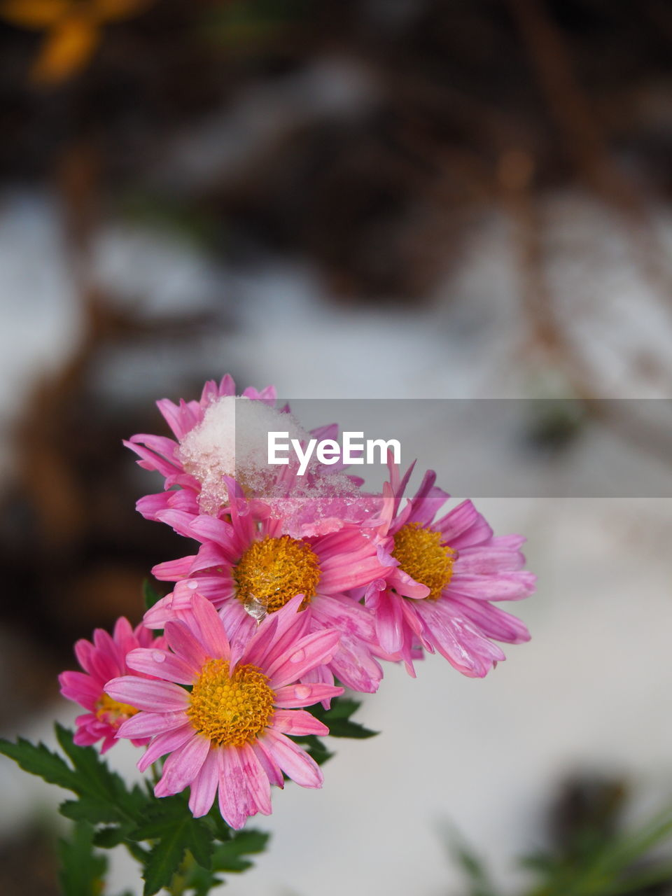 flower, beauty in nature, petal, fragility, nature, freshness, pink color, flower head, plant, focus on foreground, close-up, no people, growth, outdoors, blooming, day